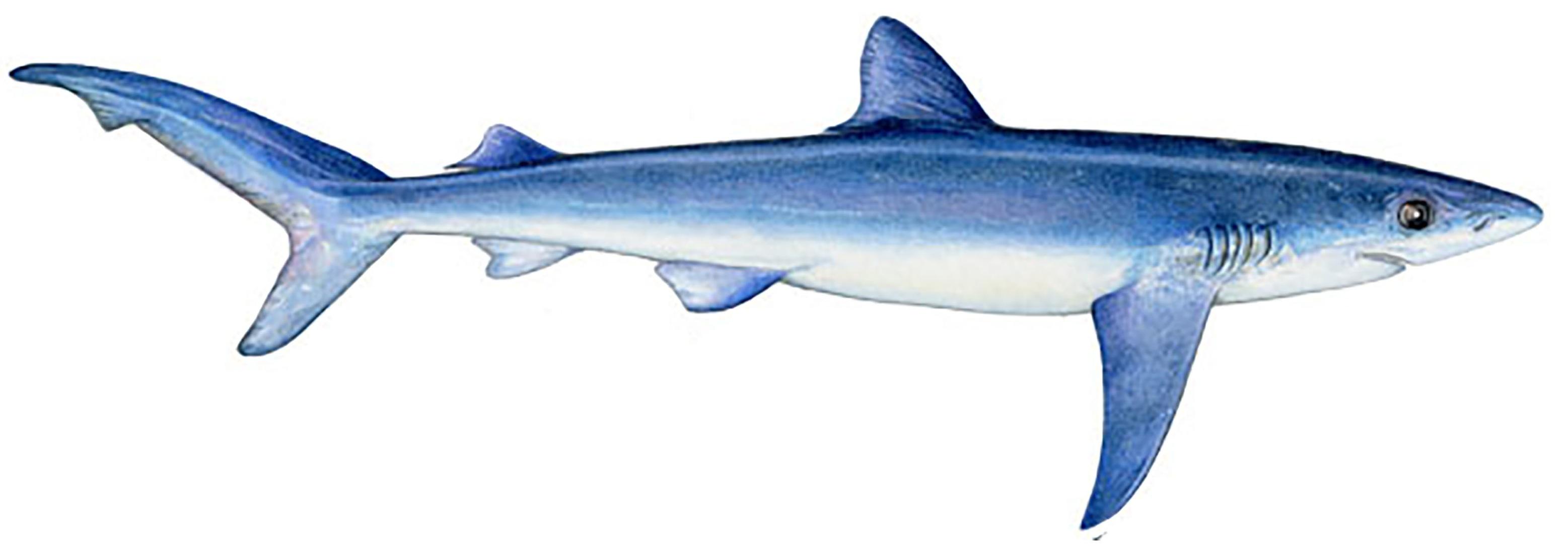 Shark_Mako2