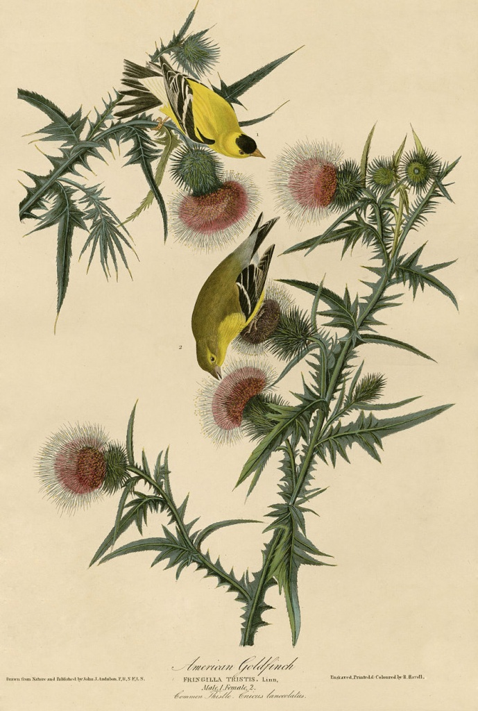 Audubon Goldfinch