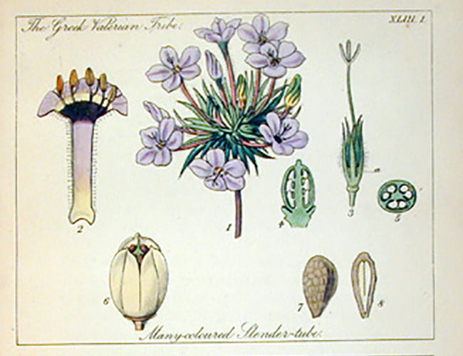 Botanical_Illustration_lindley2
