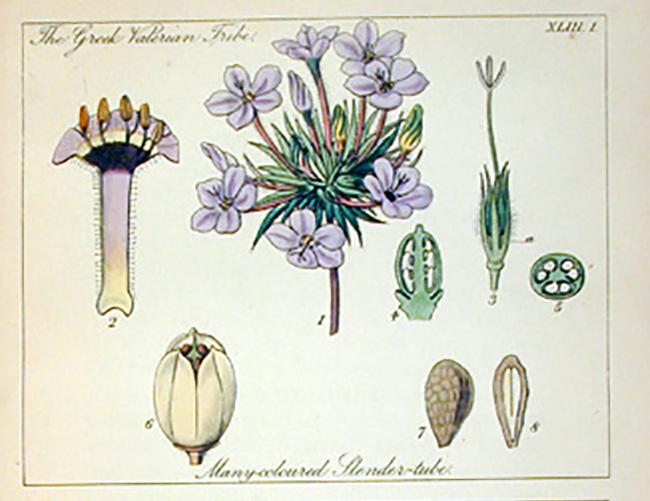 Botanical_Illustration_lindley2