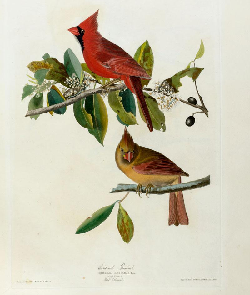 Audubon Cardinal
