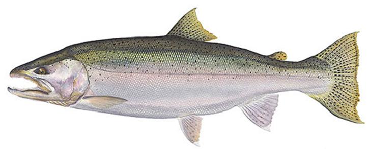 Fish_steelhead_trout