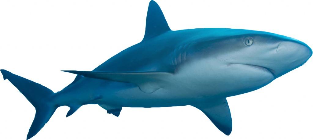 Caribbean_reef_shark02