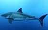 Shark_GreatWhite_Left01