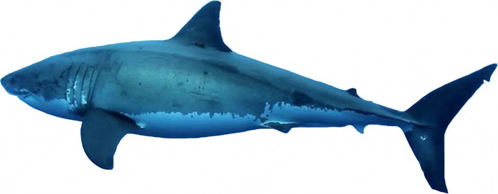 Shark_GreatWhite_Left05