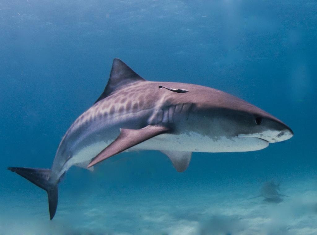 Shark_Tiger