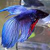 Fish_BetaBlue