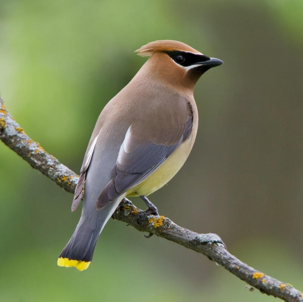 Bird_cedar_waxwing