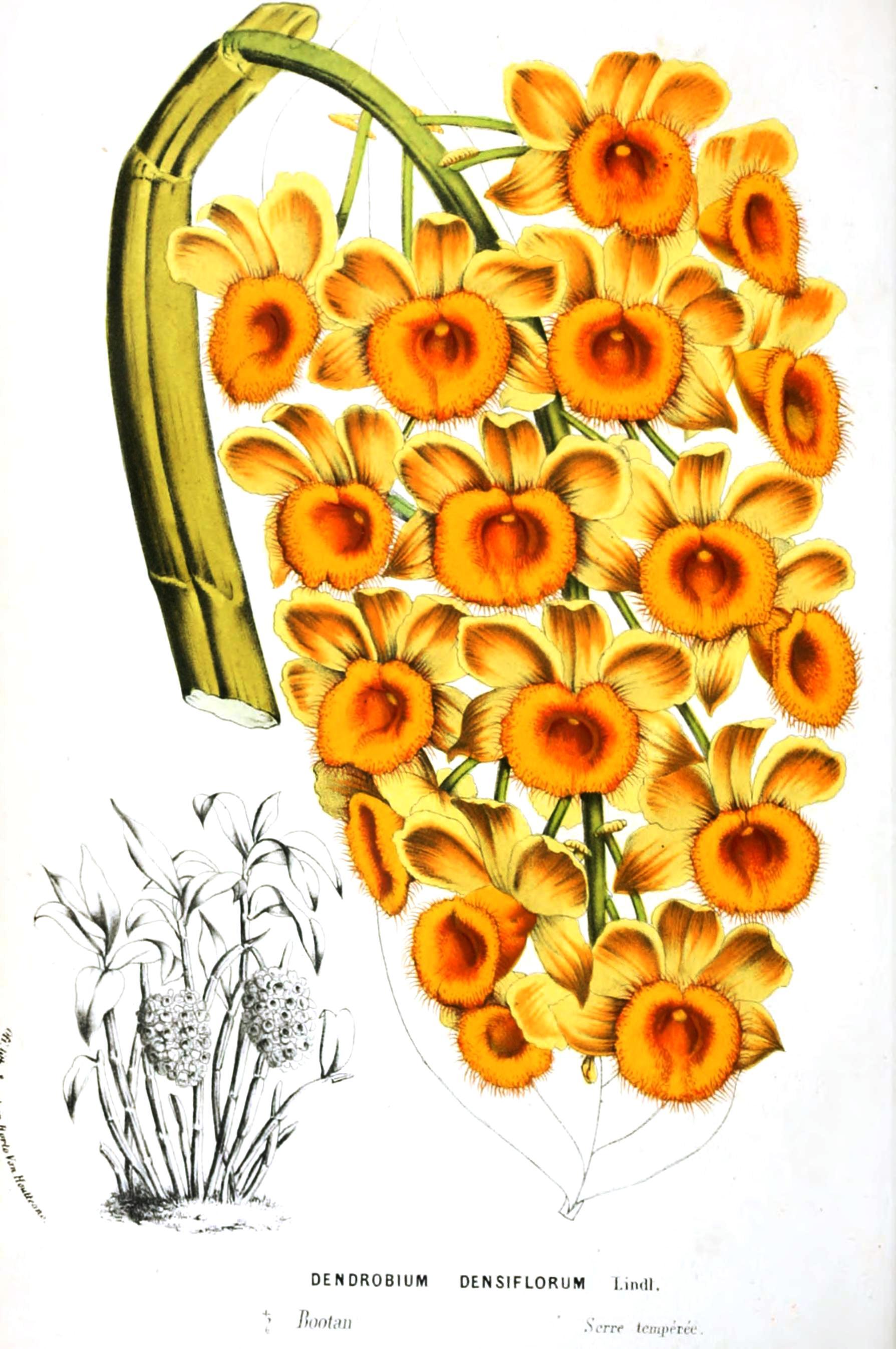 Botanical-Flore-des-Seres-et-Des-Jardins-de-LEurope-Dendrobium
