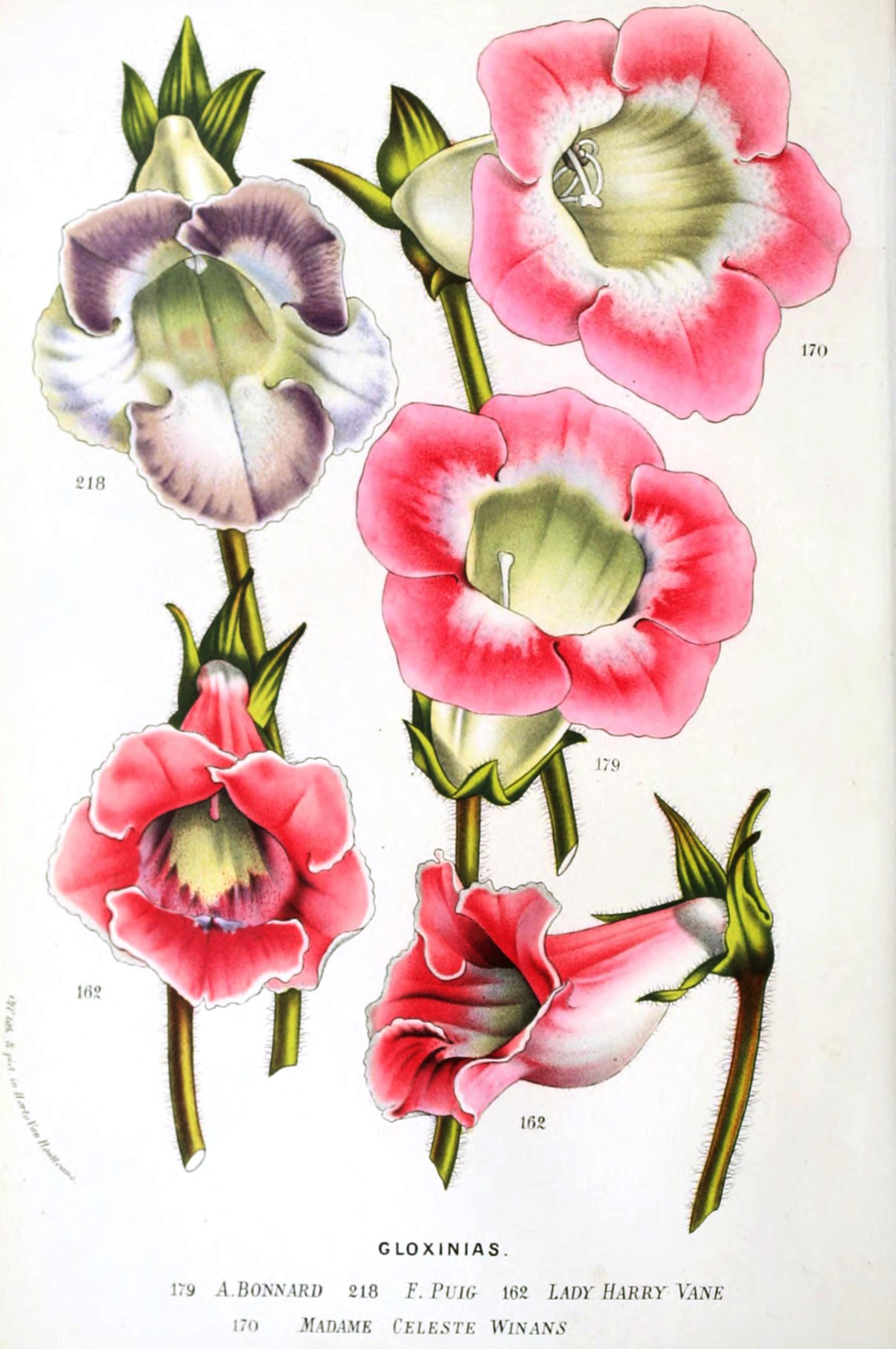 Botanical-Flore-des-Seres-et-Des-Jardins-de-LEurope-Gloxinias-2