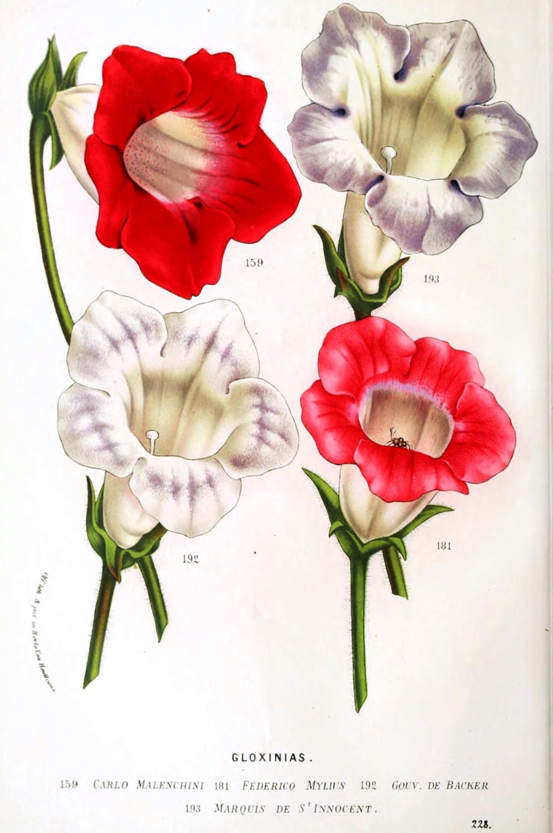Botanical-Flore-des-Seres-et-Des-Jardins-de-LEurope-Gloxinias-3