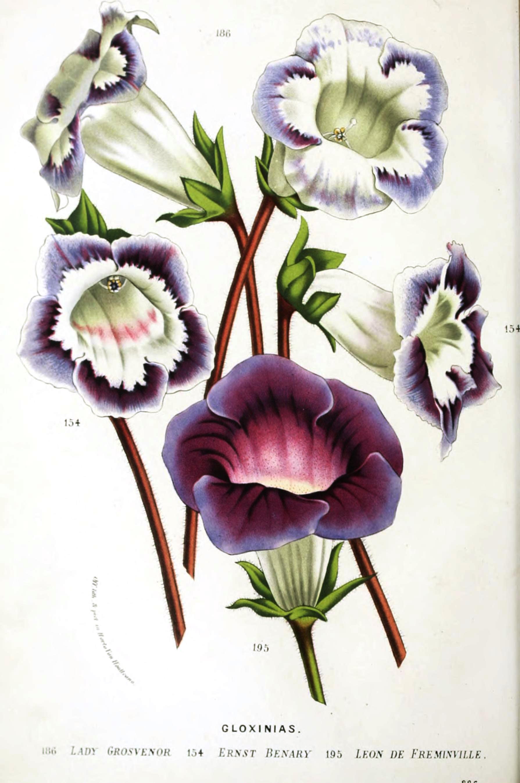 Botanical-Flore-des-Seres-et-Des-Jardins-de-LEurope-Gloxinias