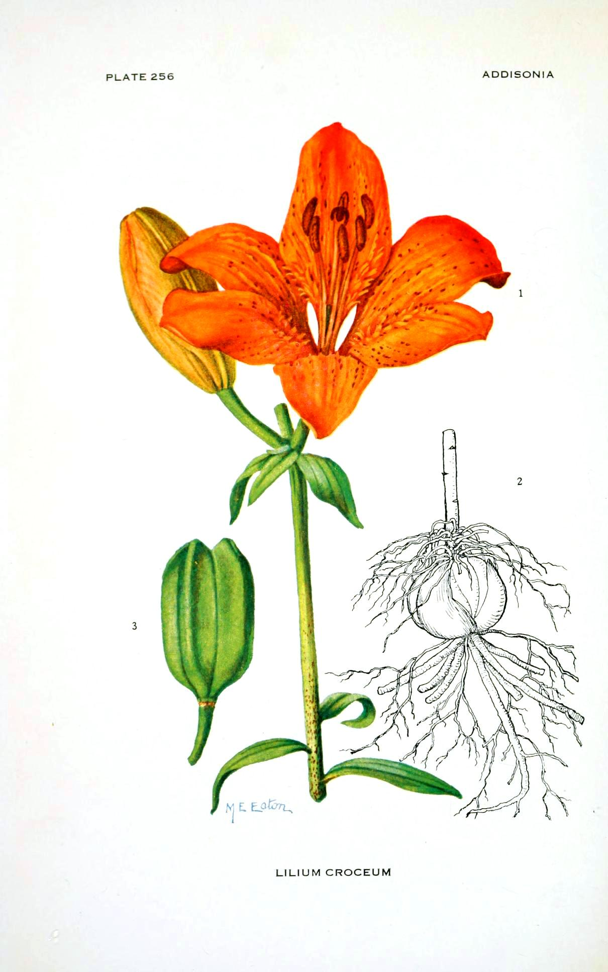 Botanical-Flower-Asiatic-lilly-Orange-2