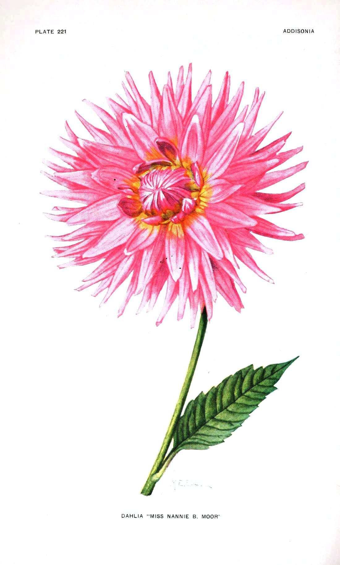 Botanical-Flower-Dahlia-Pink
