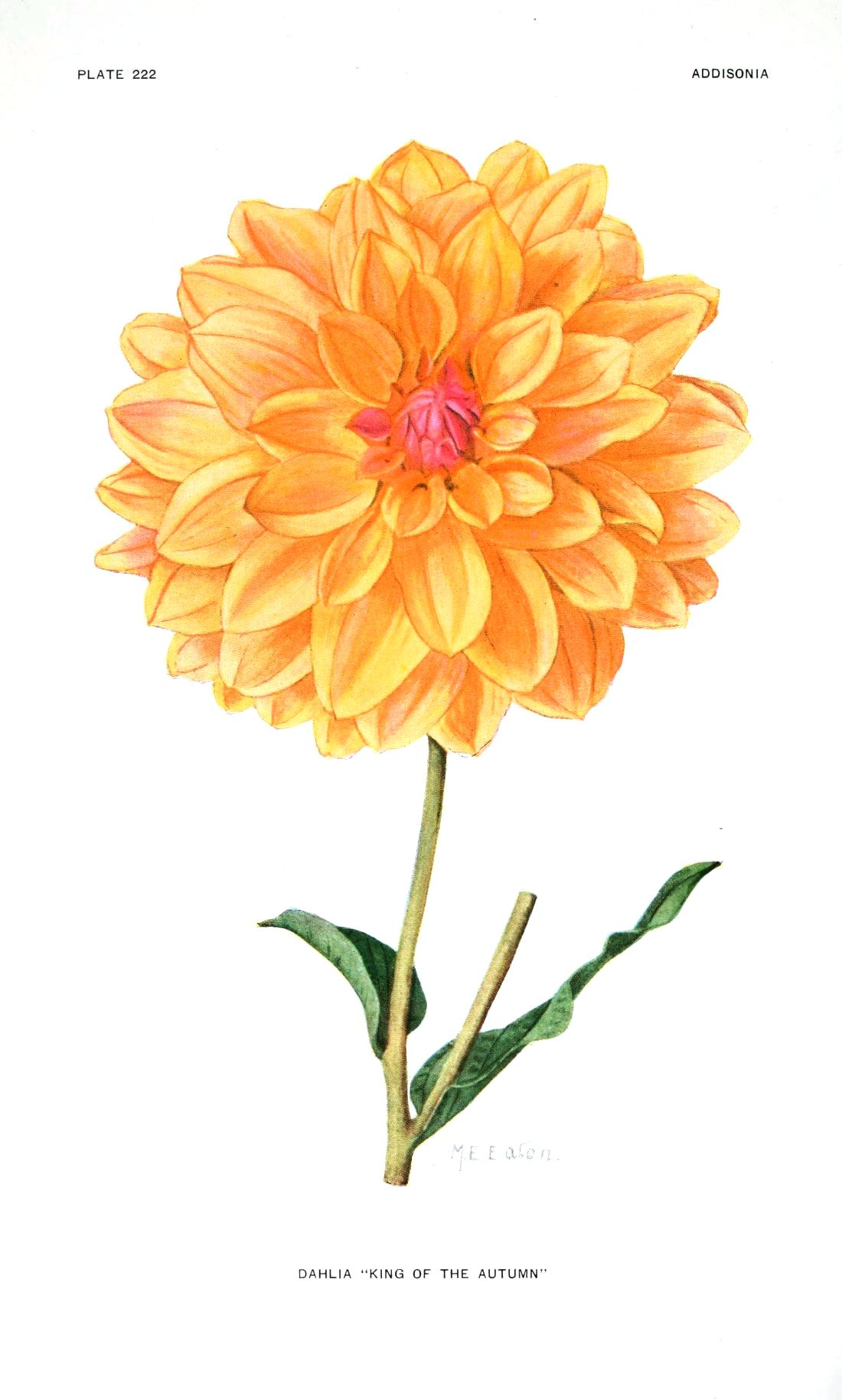 Botanical-Flower-Dahlia-Yellow