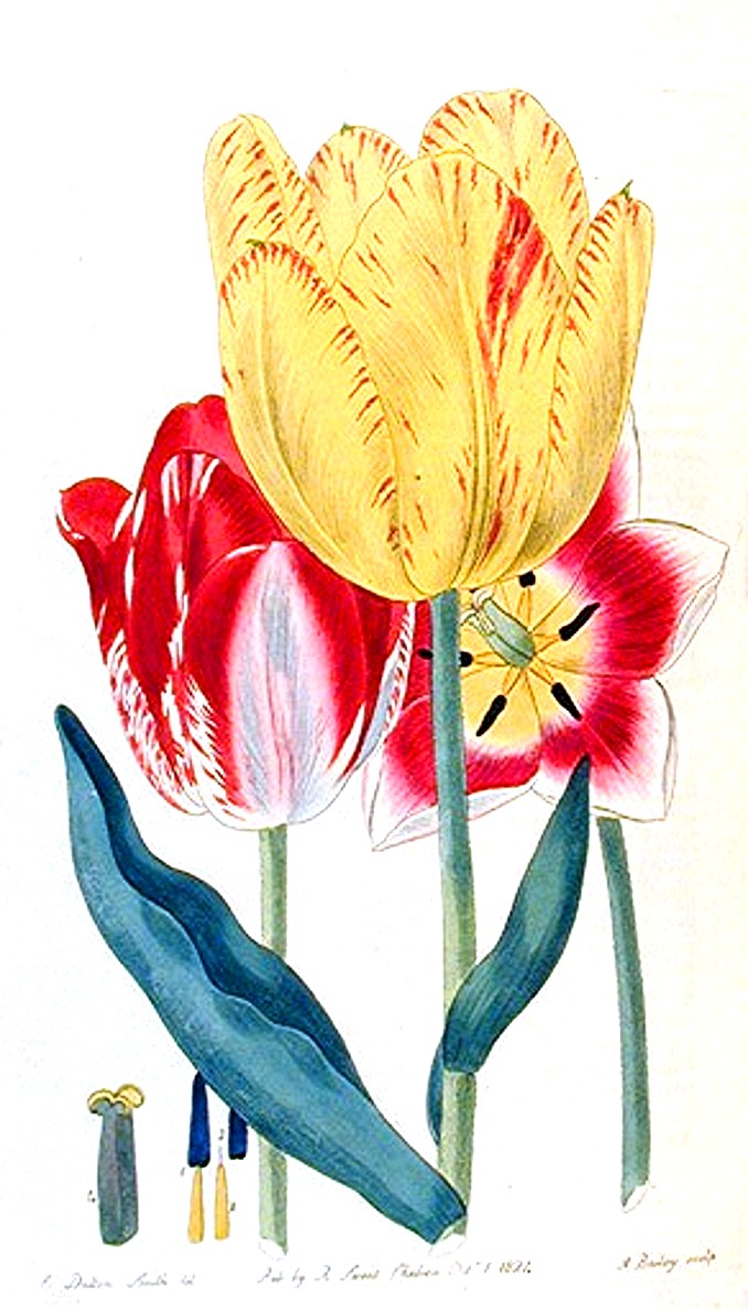 Botanical-Flower-Tulip-Group-of-tulips