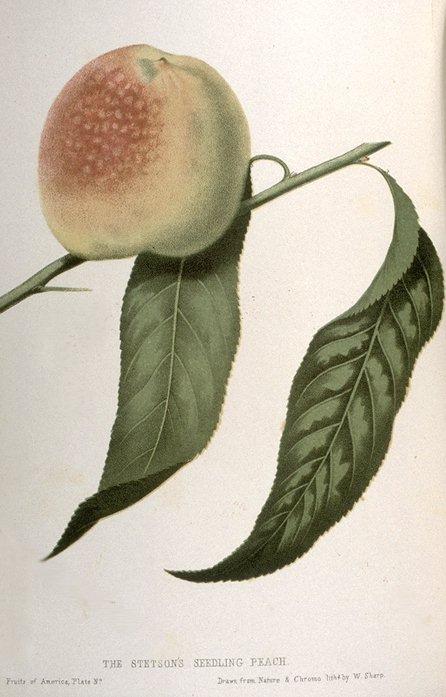 Botanical Illustration C. M. Hovey 1856