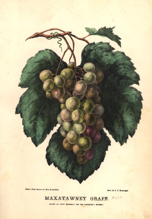 Botanical Illustration J. H. Kent 1870