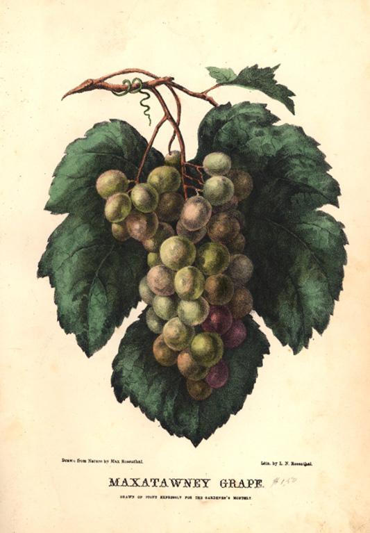 Botanical Illustration J. H. Kent 1870