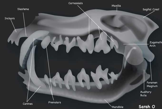 X-ray_animal_skull