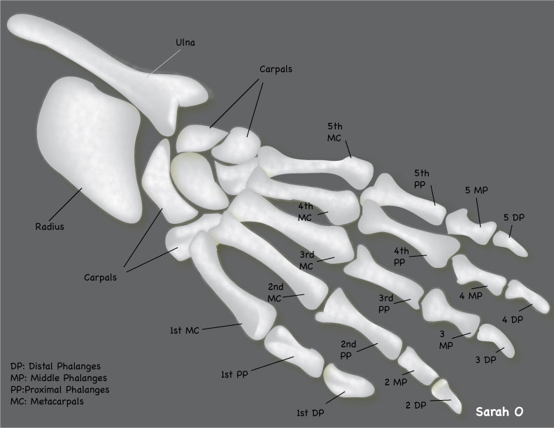 X-ray_Illustration_Hand