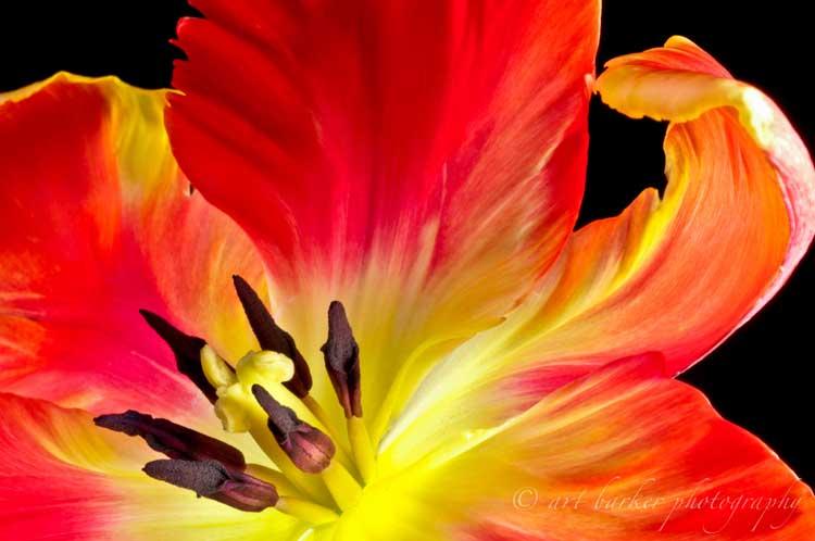 Flower_parrot_tulip