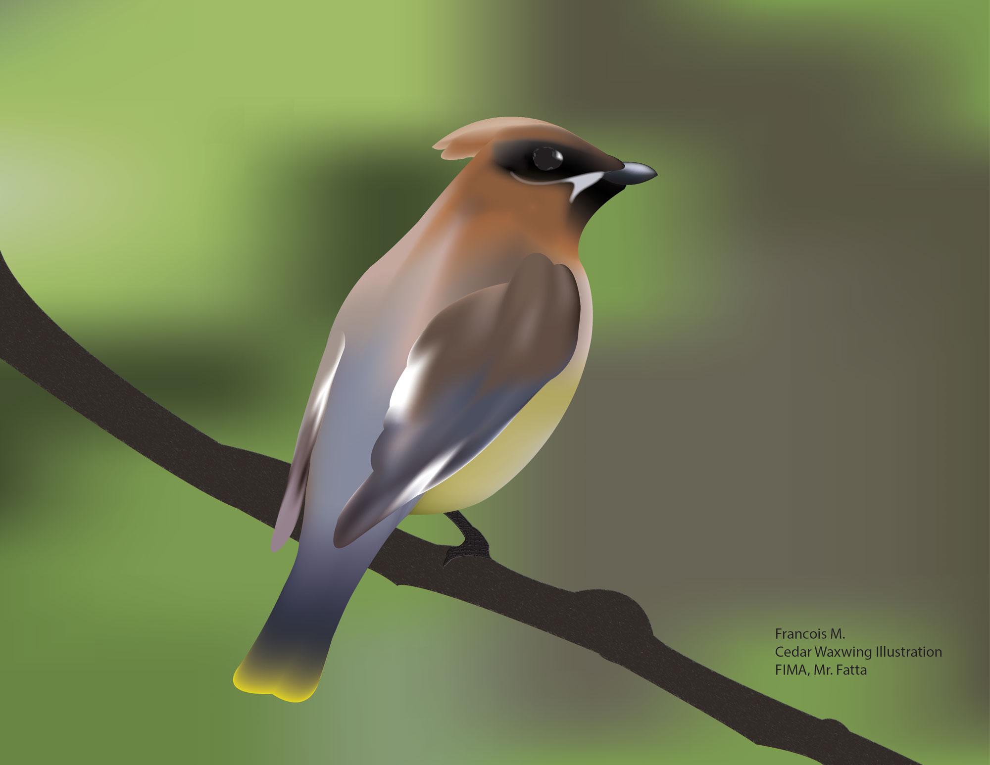 Bird_Cedar_Waxwing_FrancoisM