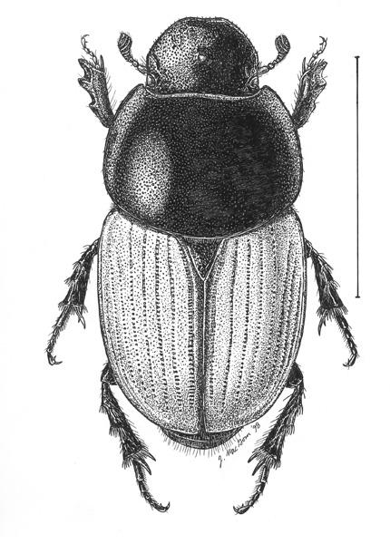 Aphodius.erraticus