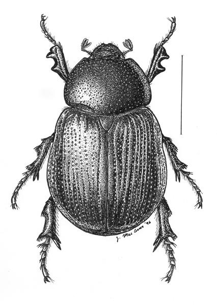 Aphonus.castaneus