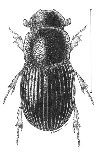 Aphotaenius