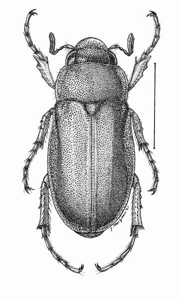 Phyllophaga.debilis
