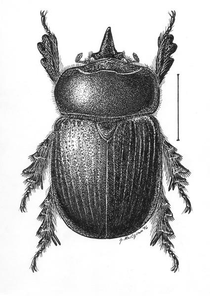 Xyloryctes.jamaicensis